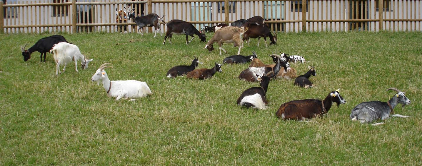 Chèvres de pays