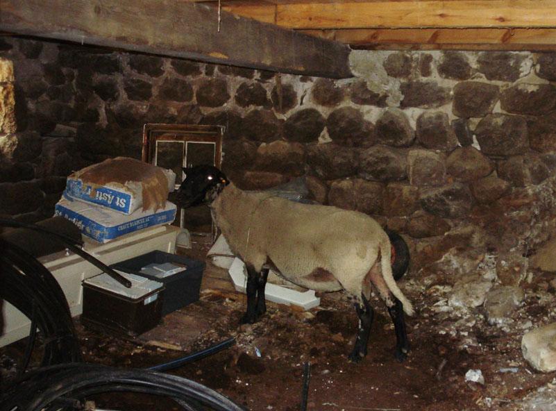 Le mouton fugitif dans notre cave!!!