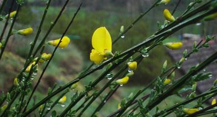 premieres-fleurs-de-genets