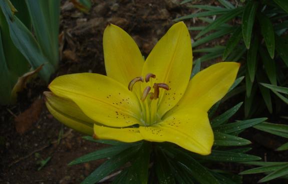 2013-47. Chronique du mois de mai 2013 au Mesnil-Marie. dans Chronique de Lully 31-mai-premier-lys-fleuri