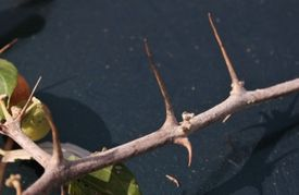 Ziziphus spina-christi - branche