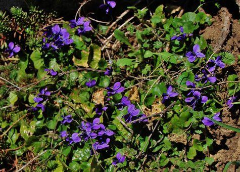 Premières violettes au Mesnil-Marie le 15 mars 2019