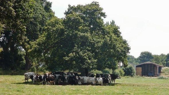 vaches à l'ombre